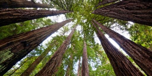 n-REDWOOD-TREES-628x314